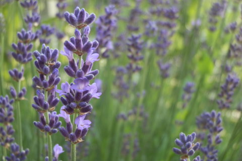 Lavendel – Lavendula officinalis