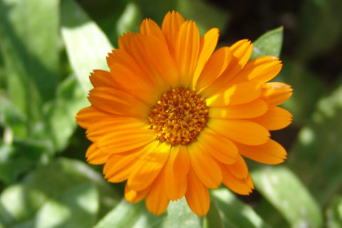 Ringelblume – Calendula officinalis