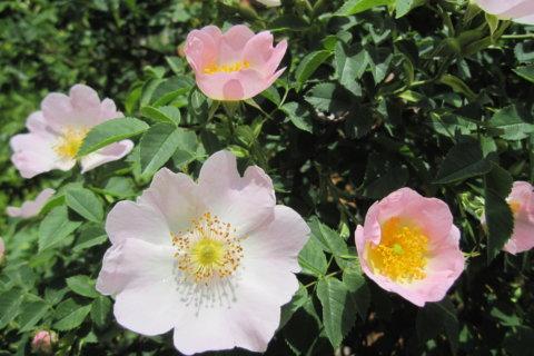 Hundsrose – Rosa canina L.