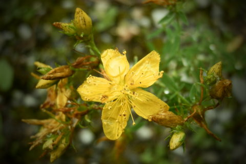 Johanniskraut – Hypericum perforatum