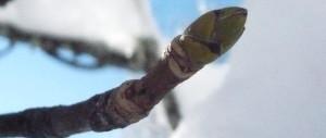 Bergahorn Knospe