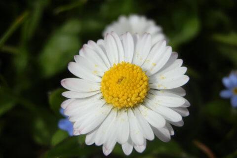 Gänseblümchen – Bellis perennis