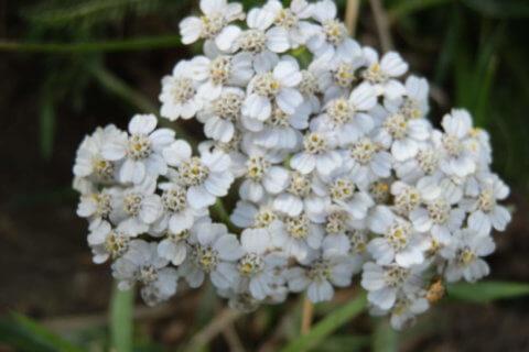 Schafgarbe – Achillea millefolium