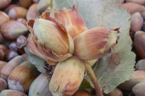 Hasel – Corylus avellana
