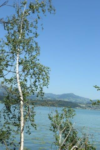 Die Birke – Betula pendula