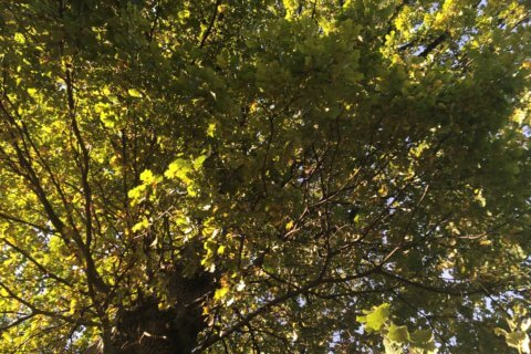 Die Eiche – Quercus robur / petraea