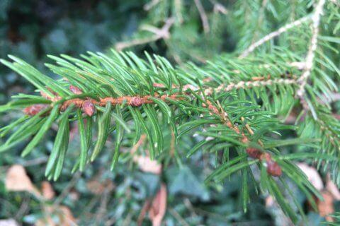 Fichte – Picea abies L.