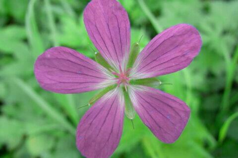 Stinkender Storchenschnabel – Geranium robertianum